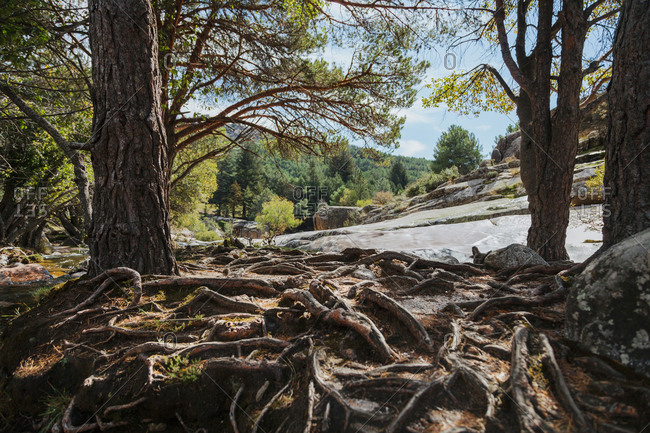 Land by river covered with trees roots in forest at La Pedriza- Madrid- Spain