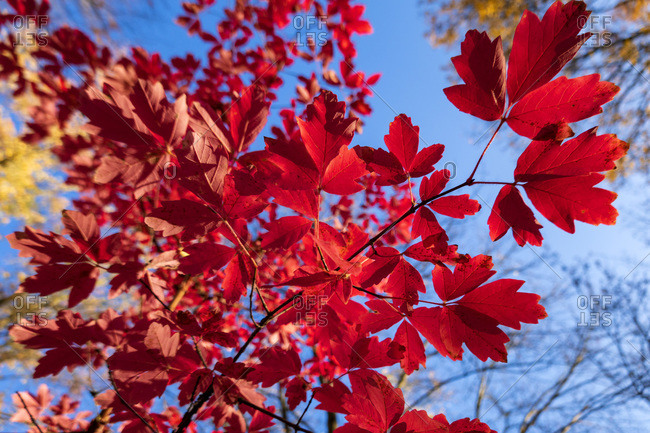 Red leaves on tree branch in Autumn