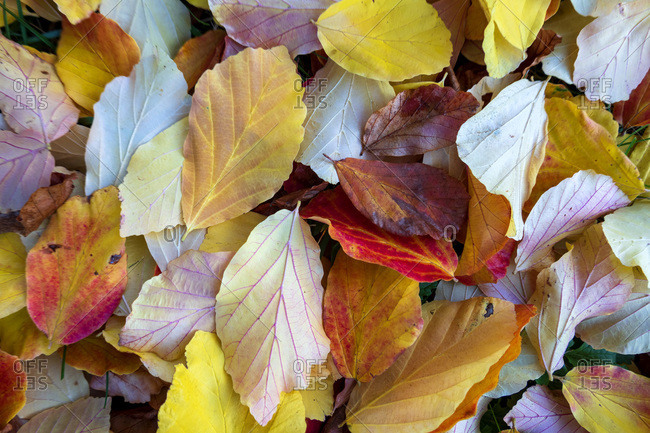 Autumn colored leaves on ground