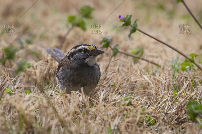 Close up of a white-throated sparrow on the ground