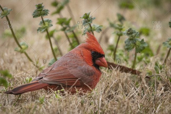 Profile portrait of a northern cardinal on the ground close up