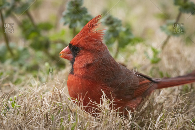 Close up side view of a northern cardinal on the ground