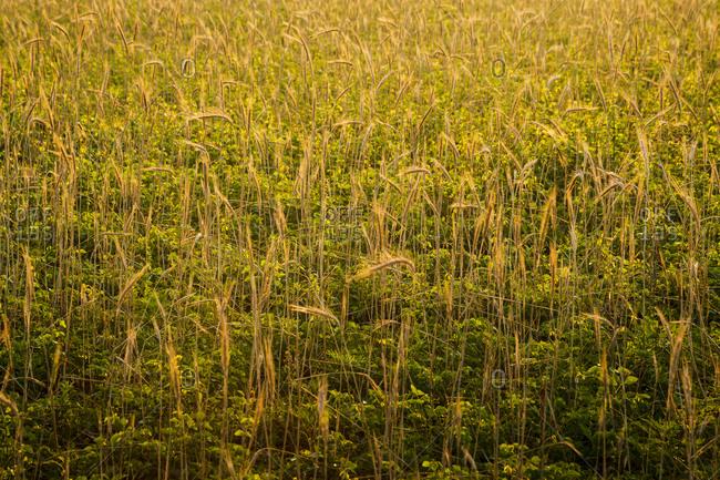 Backlit grain field near Emerald Isle, North Carolina