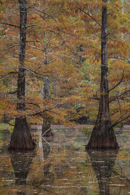 Bald Cypress trees in a swamp at peak fall color in rural Mississippi