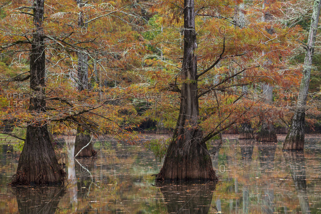Fall color, cypress trees, reflections, and smooth water that still shows some motion in LeFleur's Bluff State Park outside of Jackson, Mississippi