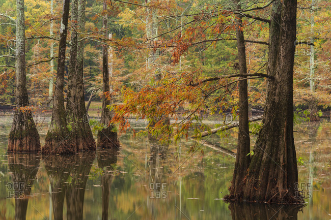 Bald Cypress trees reflecting in a swamp at peak fall color in Mississippi