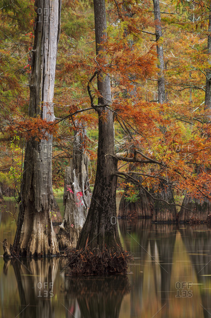 Bald Cypress trees in a swamp at peak fall color in Mississippi