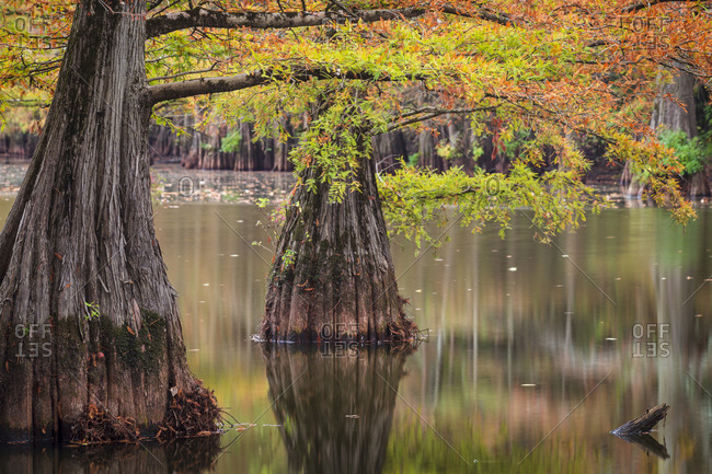Beautiful color changing leaves on a bald Cypress trees in a swamp during autumn in rural Mississippi
