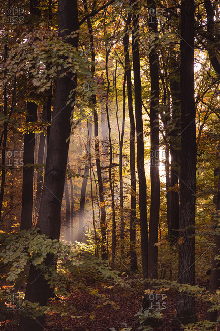 Sunlight streaming through trees in forest during autumn- Bavaria- Europe- Germany