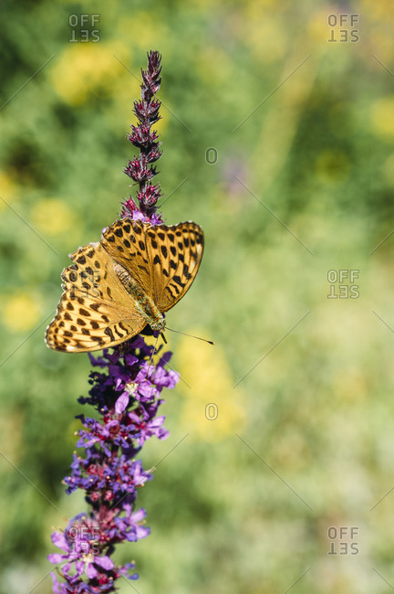 Spotted butterfly perching on purple loosestrife (Lythrum salicaria)