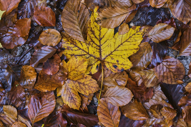 Pile of beautiful autumn leaves on the ground