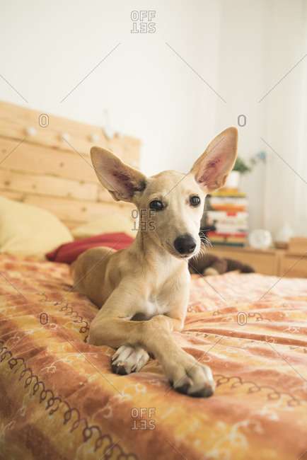 Portrait of brown Whippet lying on bed