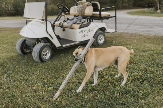 Dog playing with wood stick while standing by golf cart outdoors