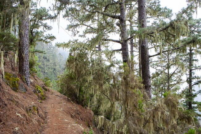 Narrow mountain trail in forest at Barranco Madre del Agua- Tenerife- Spain