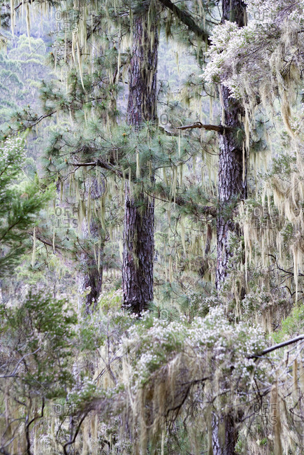 Branches of trees covered with hanging lichen at in forest at Barranco Madre del Agua- Tenerife- Spain