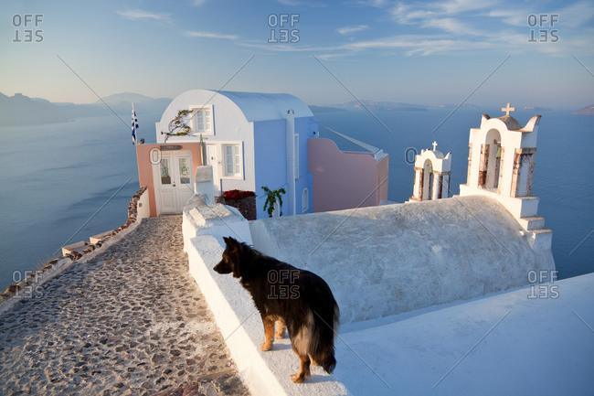 January 8, 2021: Dog in the village of Oia Santorini Cyclades Islands, Greece