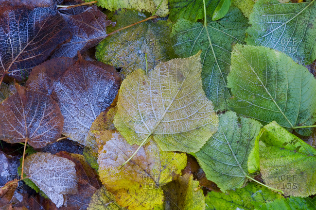Frost on autumn leaves, top view