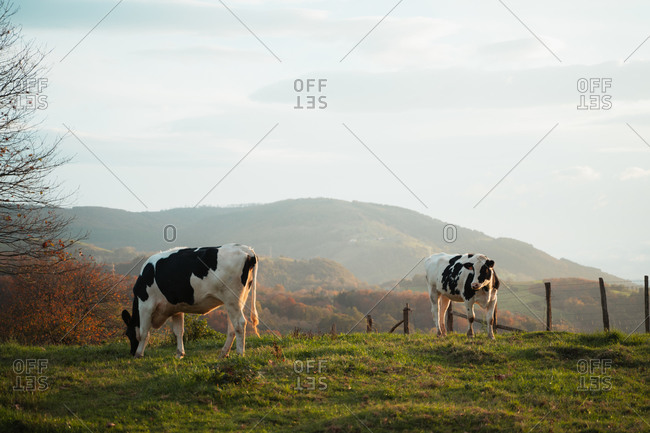 Two adult black and white cows grazing on a grass field during sunset with soft light