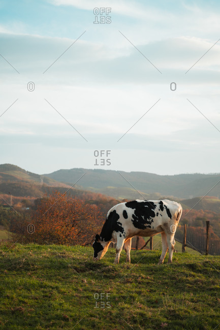 Lonely cow grazing on a meadow during sunset with autumnal forest in background
