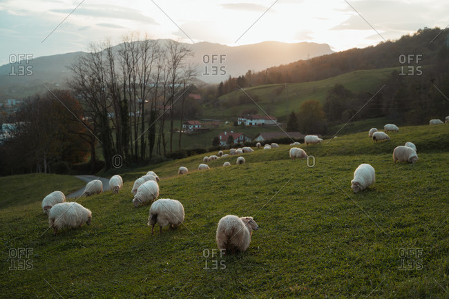 Sheep flock grazing on a meadow in Basque Country during sunset