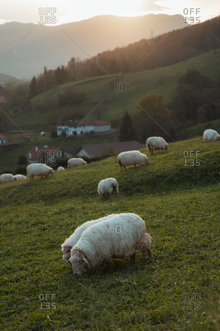 Couple of sheep grazing during sunset in the countryside of northern Spain