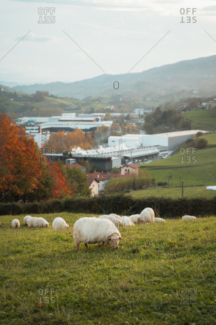 Sheep flock grazing near a industrial and residential area of Basque Country during autumn