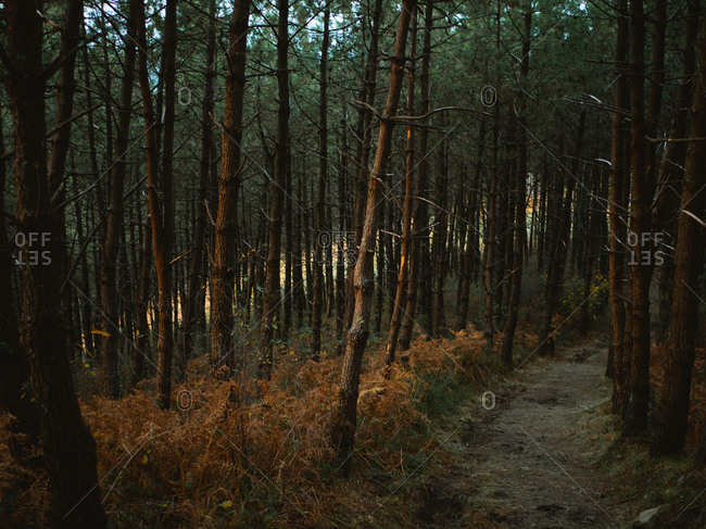Hiking path through a mystical forest during sunset