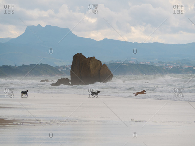 Dogs running and jumping on the beach during winter in Biarritz