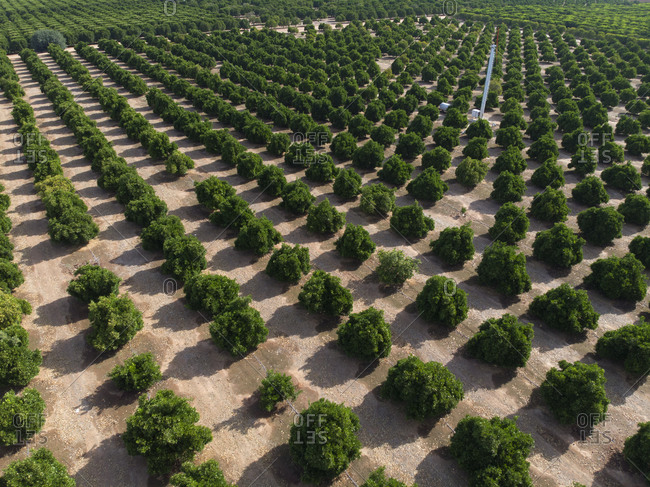 Aerial view over orange groves in Yuba City, California