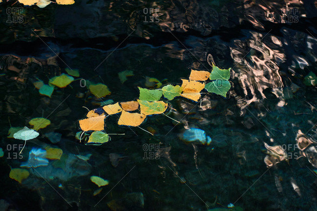 Green and yellow leaves of birch tree floating on calm surface of pond in autumn