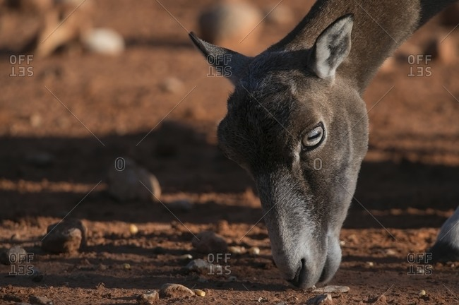 Muzzle of cute wild mouflon sheep grazing in dry savanna on sunny day