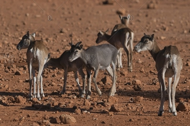 Herd of wild mouflon sheep running along dry terrain while grazing in natural habitat on sunny day