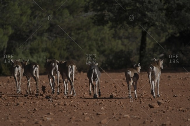 Back view of herd of wild mouflon sheep running along dry terrain while grazing in natural habitat on sunny day