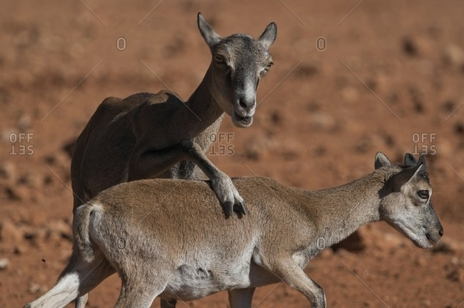 Small adorable mouflon sheep with brown fur playing on sunny day in savanna