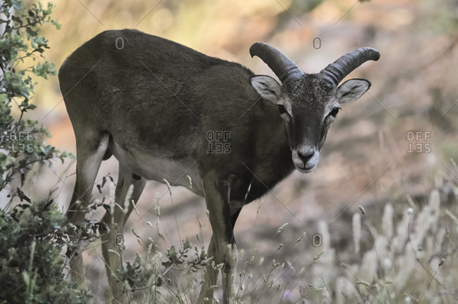Wild male mouflon with huge antlers standing in woods on sunny day and looking at camera