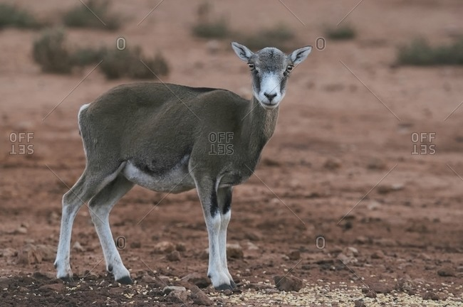 Young female mouflon with small antlers standing in natural habitat on sunny day