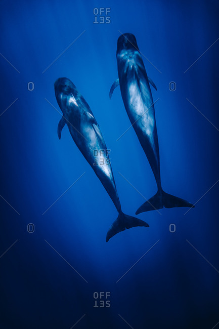 From above of amazing pilots whale swimming in dark blue sea water in evening