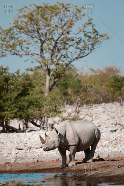 Huge rhino standing near lake with fresh water on sunny day in savanna