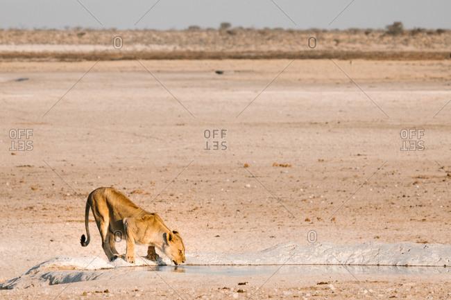 Fluffy lion drinking water in pond in savanna