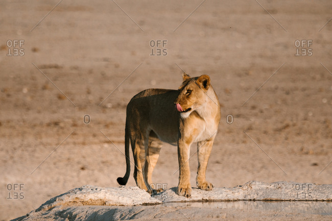Fluffy lioness standing on stone in dry savanna on sunny day and looking away