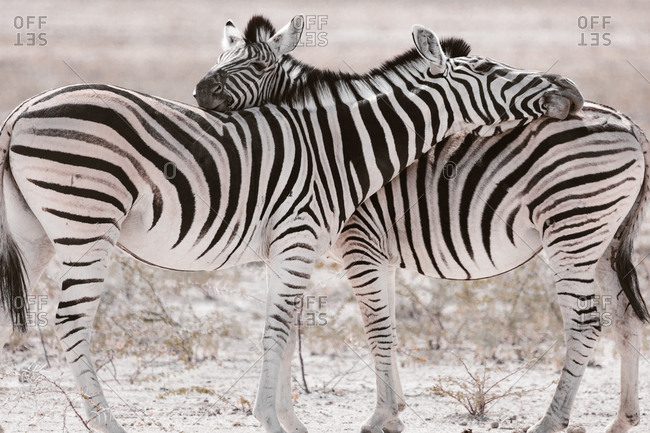 Couple of wild zebras standing on pasture and cuddling tenderly in savannah on sunny day