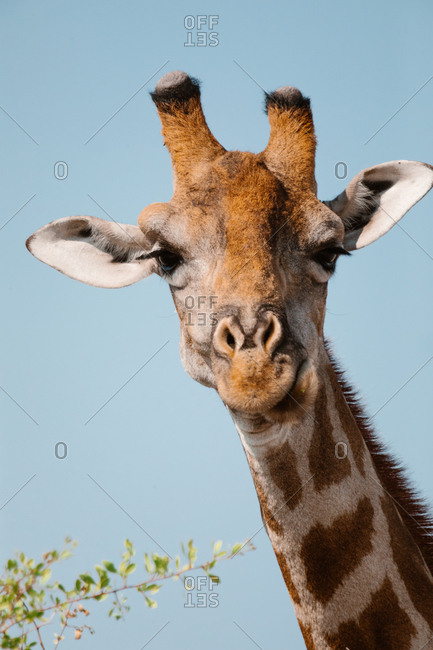 Adorable giraffe with brown fur chewing fresh grass in savanna and looking at camera