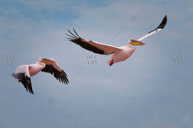 Low angle of wild pelicans with white and black plumage flying gracefully in blue sky