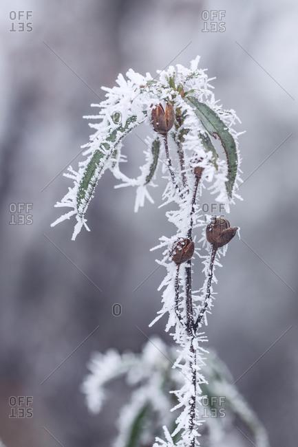 Frozen rockroses in a mysterious oak forest in a foggy day in winter.