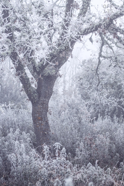 Frozen and mysterious oak forest in a foggy day in winter.