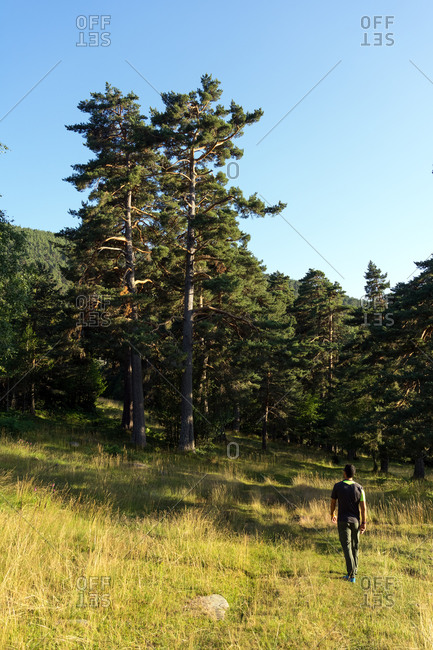 Man walking into the pine forest