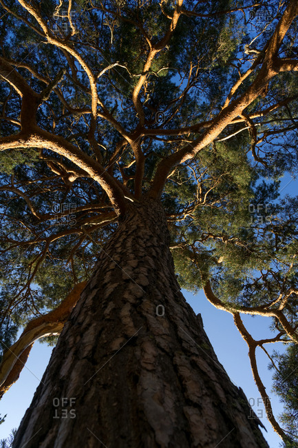View of a pine tree from below at sunset in the Lillo pine forest. Spain