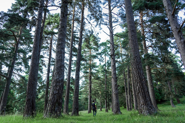 Man walking into the Lillo pine forest in the Riaño Mountain Regional park, Spain.