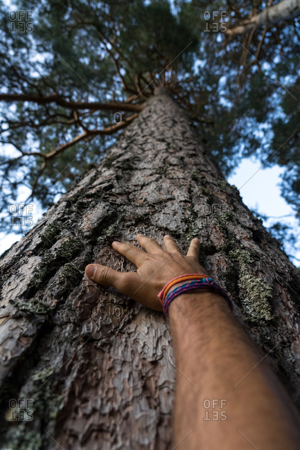 Man hand touching the bark of a pine tree from below in the Lillo Pine forest. Spain
