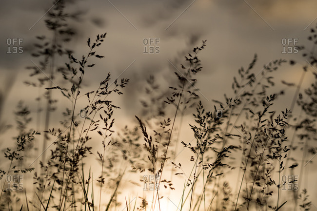 Wild Grass In Bloom In Warm Sunset Light